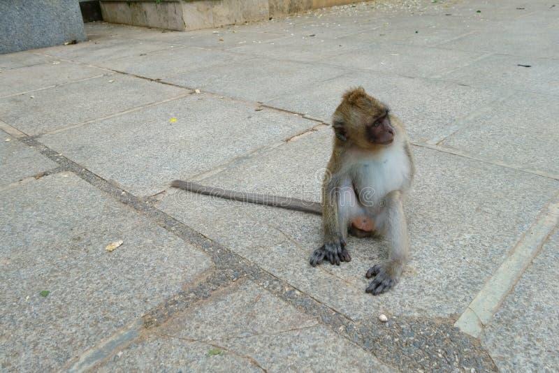 Behandla som ett barn lite apasammanträde på Tiger Cave Temple i pro-Krabi royaltyfri foto