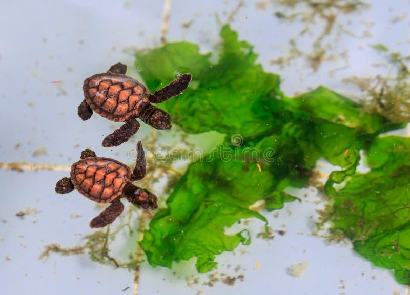Behandla som ett barn lite havssköldpaddor i pölen royaltyfri foto