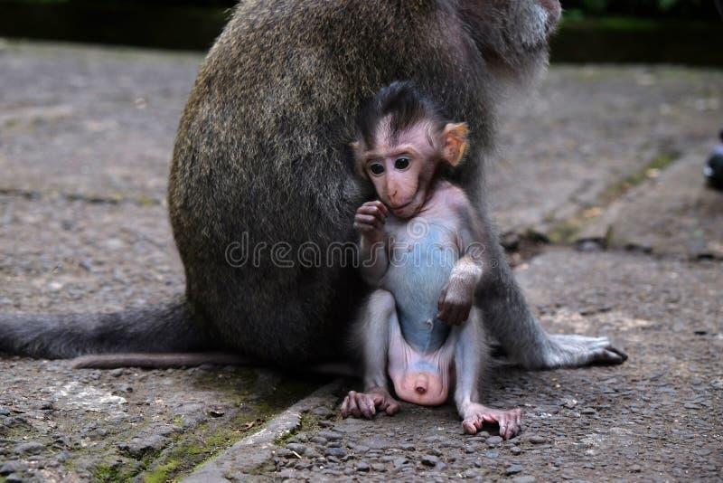 behandla som ett barn macaquen royaltyfria foton