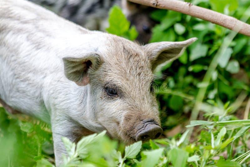Behandla som ett barn Mangalitsa spädgrisar på organisk lantgård royaltyfria foton