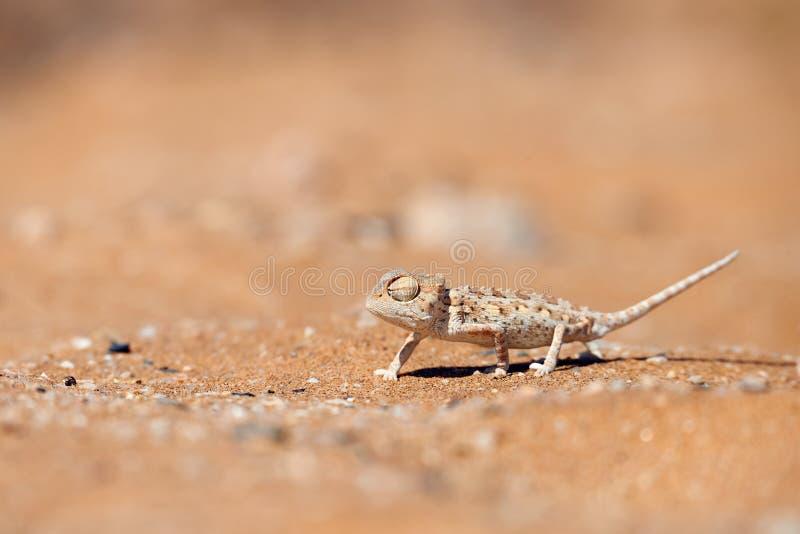 Behandla som ett barn namaquensisen för den Namaqua kameleontchamaeleoen royaltyfri bild