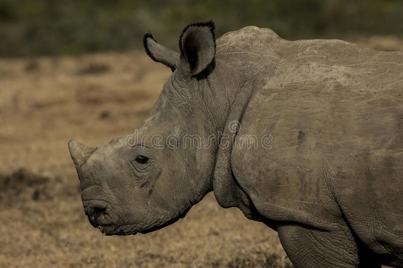 Behandla som ett barn noshörningar kunde vara mycket underhållande, när de är unga royaltyfri bild