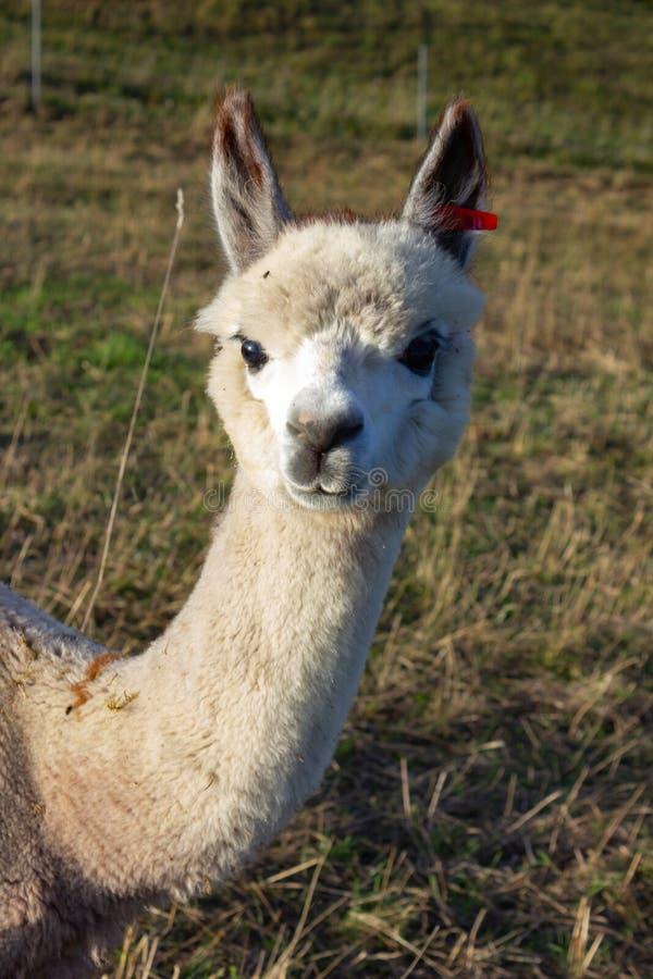 behandla som ett barn och uppfostrar alpacafamiljdjur fotografering för bildbyråer