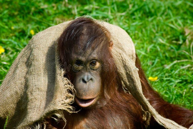 behandla som ett barn orangutanen royaltyfria foton
