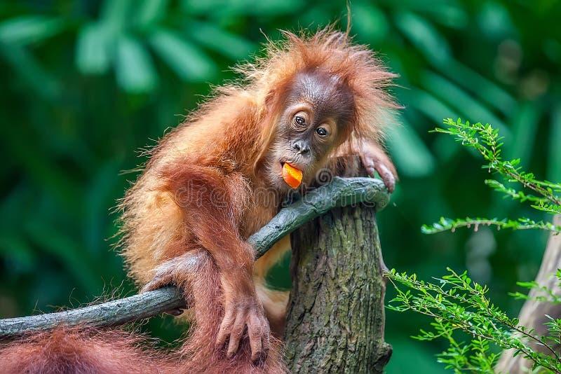 Behandla som ett barn orangutanget som äter frukt arkivfoto