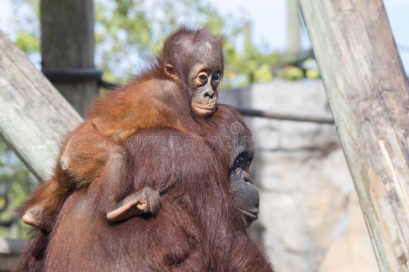 Behandla som ett barn orangutanget arkivbild