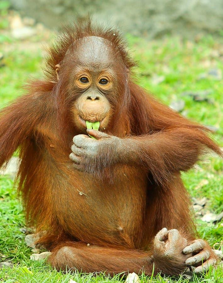 Behandla som ett barn orangutanget royaltyfri foto