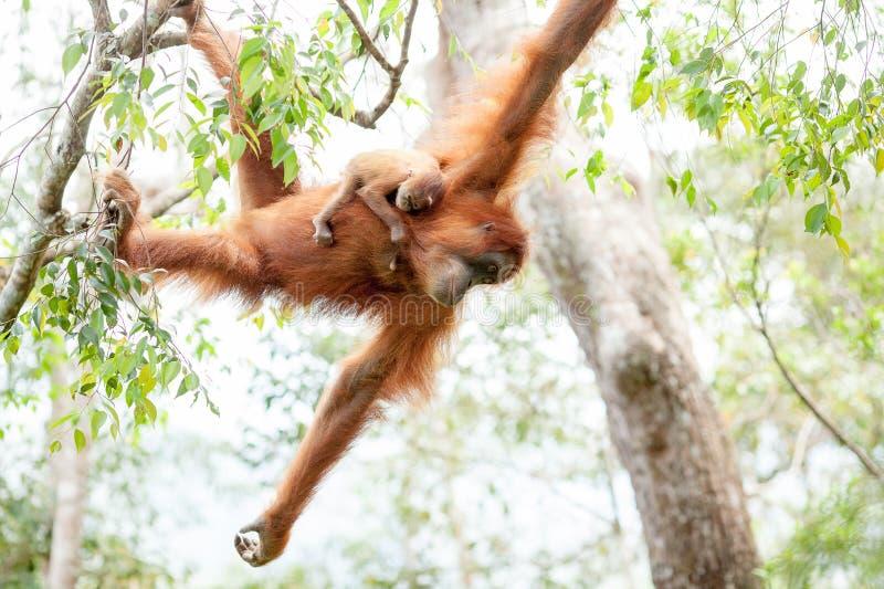 Behandla som ett barn orangutanget royaltyfri fotografi