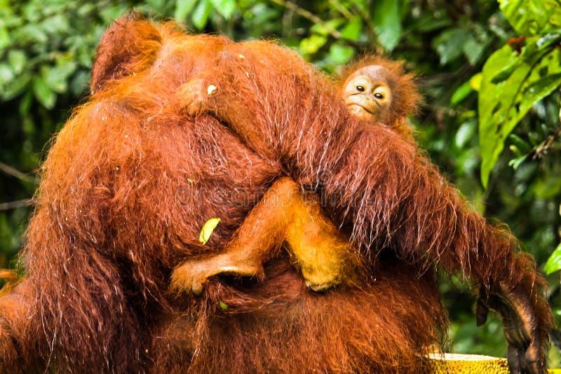 Behandla som ett barn orangutanget som håller fast vid baksidan av moderorangutanget i den Borneo djungeln royaltyfri bild