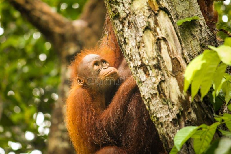 Behandla som ett barn orangutanget i den Borneo djungeln med moderorangutanget arkivfoto