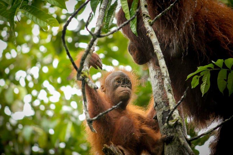 Behandla som ett barn orangutanget och modern i djungel royaltyfria bilder