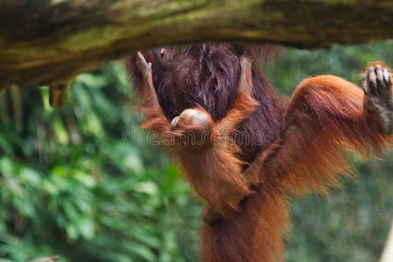 Behandla som ett barn orangutanget som rymmer mödrar, buktar, medan modern hoppar från träd till trädet royaltyfri foto