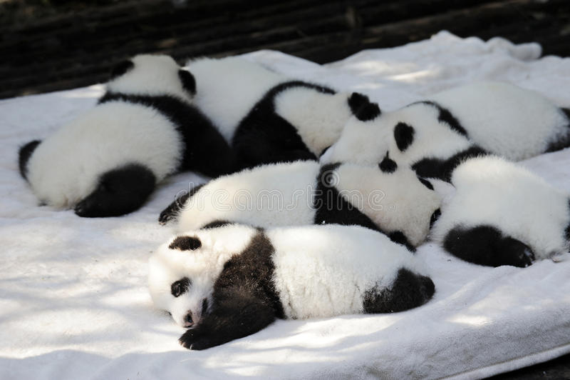Behandla som ett barn pandan fotografering för bildbyråer