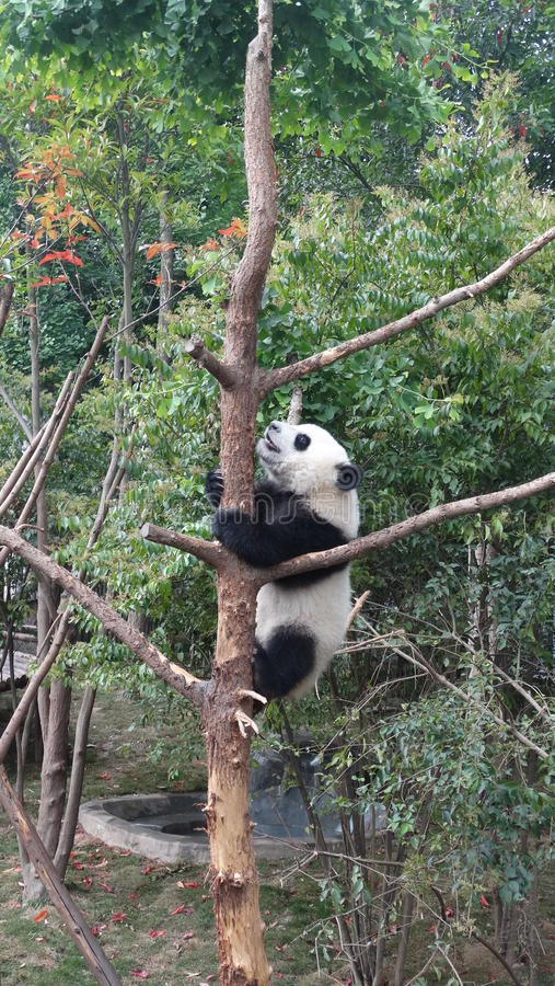 Behandla som ett barn pandan i Sichuan Panda Reserve arkivfoto