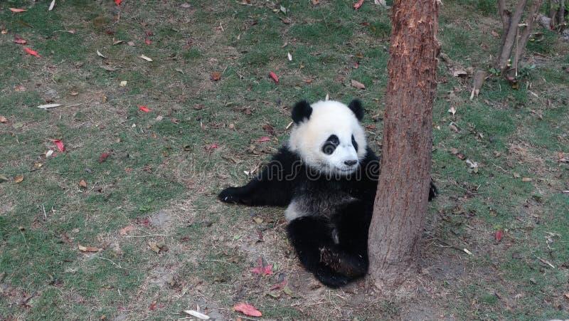 Behandla som ett barn pandan i Sichuan Panda Reserve royaltyfria foton