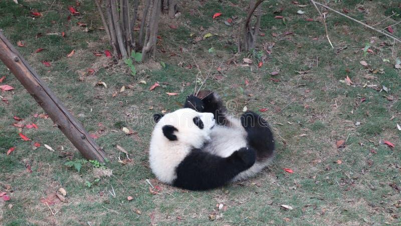 Behandla som ett barn pandan i Sichuan Panda Reserve royaltyfri foto