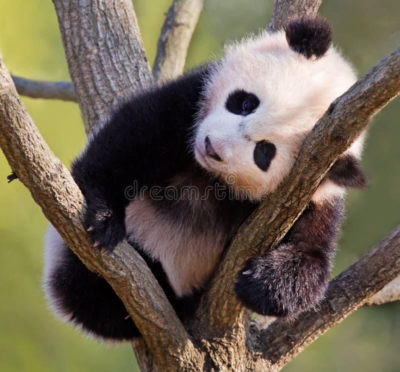 Behandla som ett barn pandan i träd royaltyfri foto