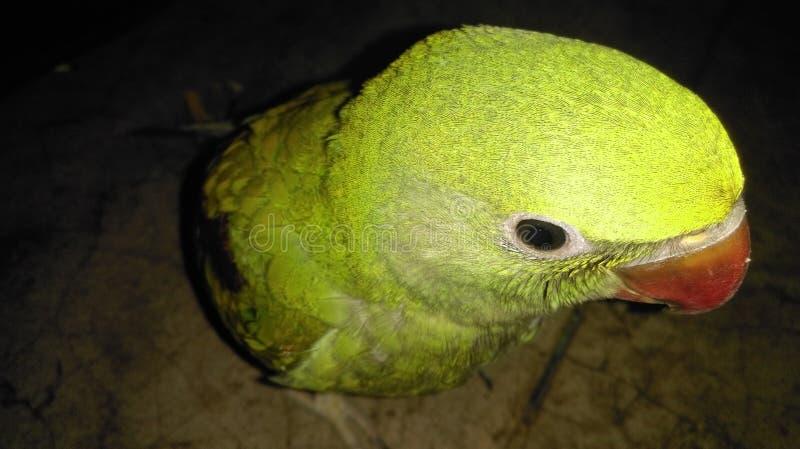 Behandla som ett barn papegojan royaltyfria bilder