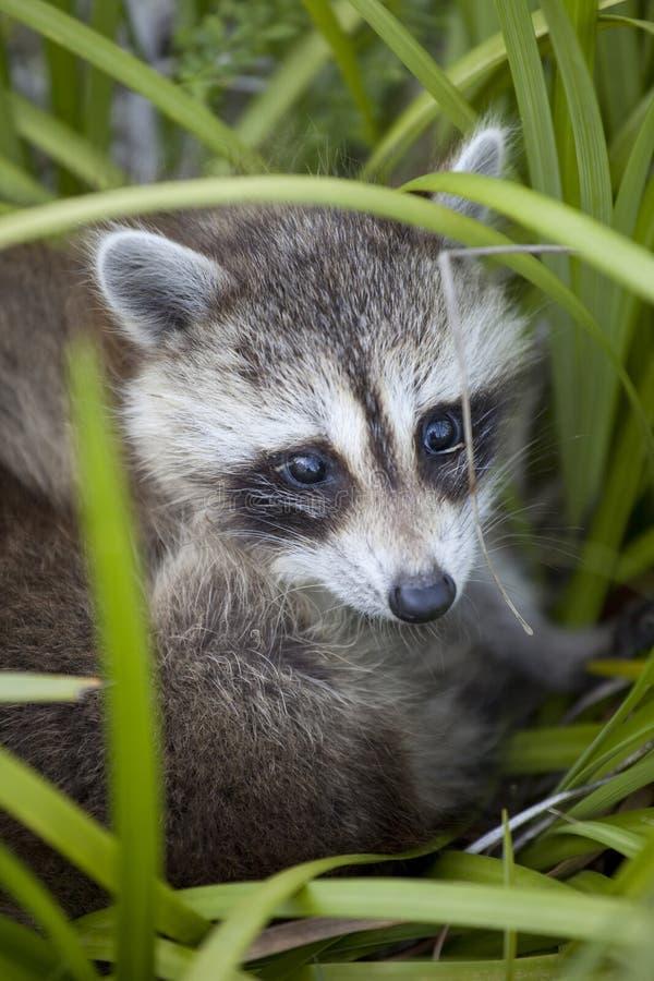 behandla som ett barn raccoonen royaltyfri bild