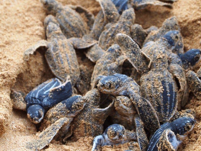 Behandla som ett barn redet för leatherbacksköldpaddan fotografering för bildbyråer