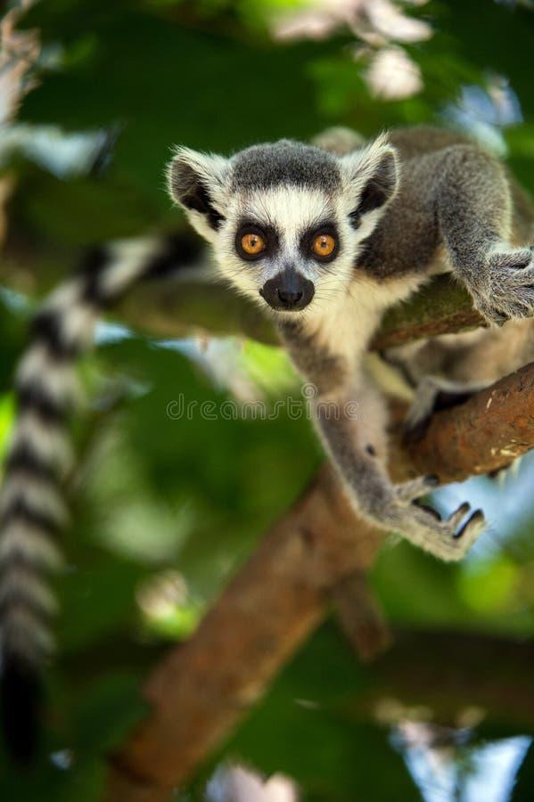 Behandla som ett barn Ring Tailed Lemur arkivbild