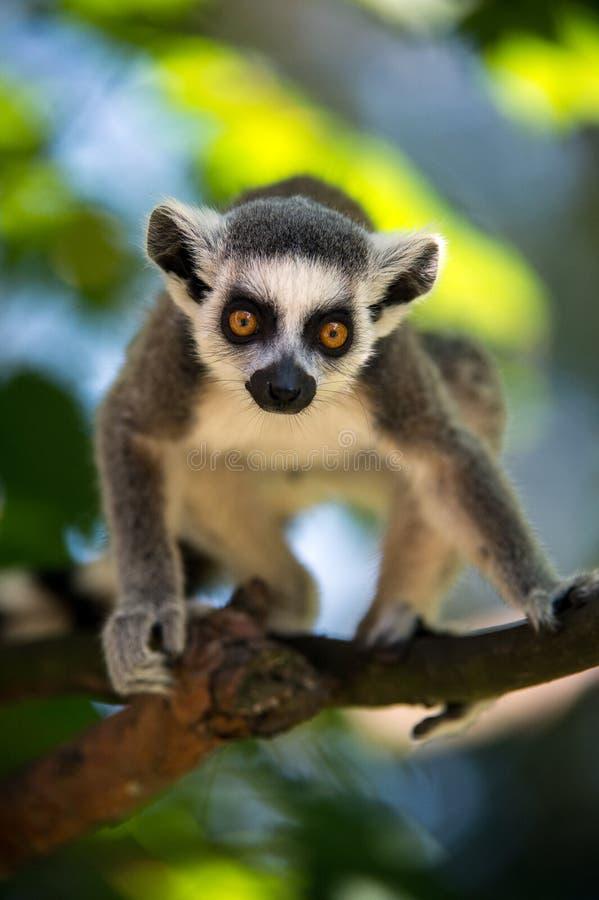 Behandla som ett barn Ring Tailed Lemur royaltyfri foto