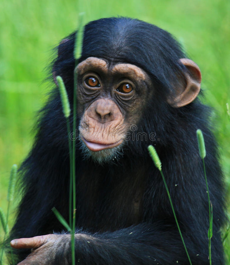 behandla som ett barn schimpansen royaltyfri bild