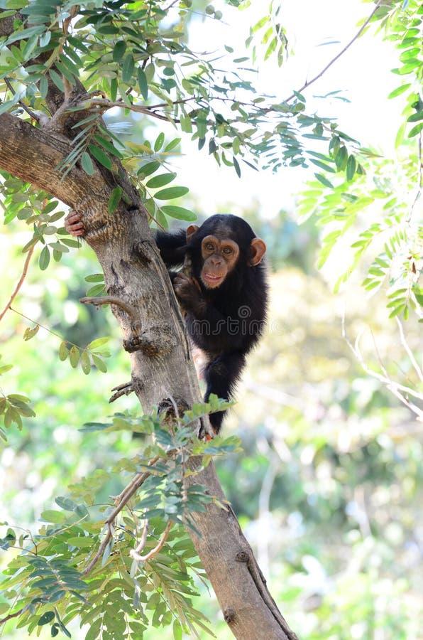 Behandla som ett barn schimpansen arkivfoto