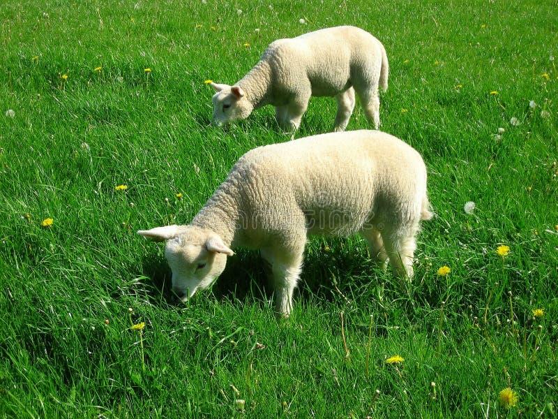 Behandla som ett barn sheeps arkivbild