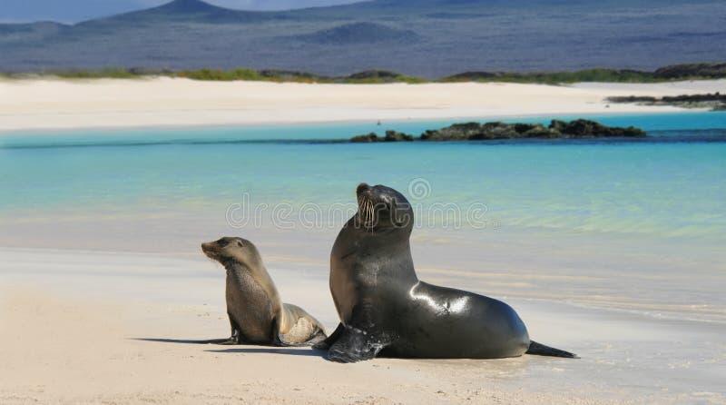 Behandla som ett barn sjölejonet med hans mom på en strand royaltyfria foton