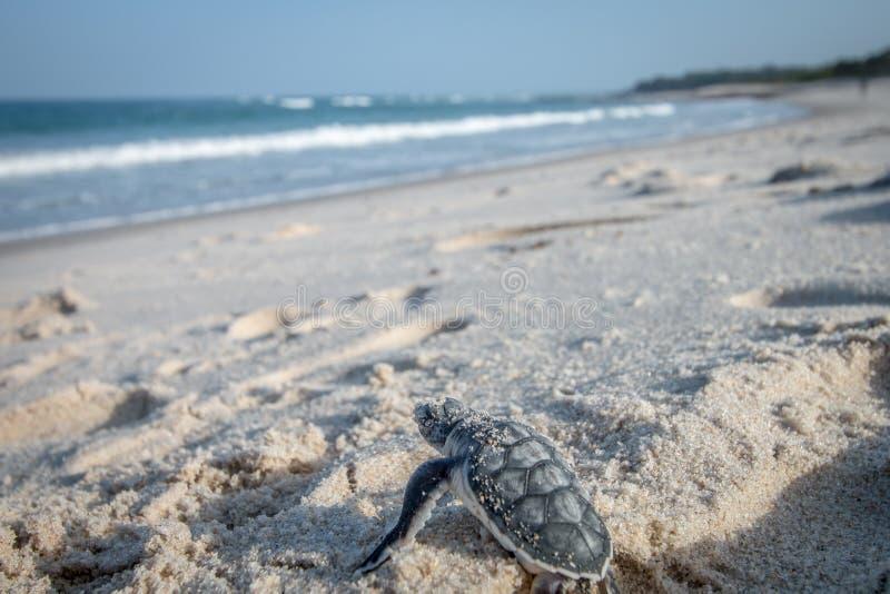 Behandla som ett barn sköldpaddan för det gröna havet som gör dess väg till havet royaltyfria foton