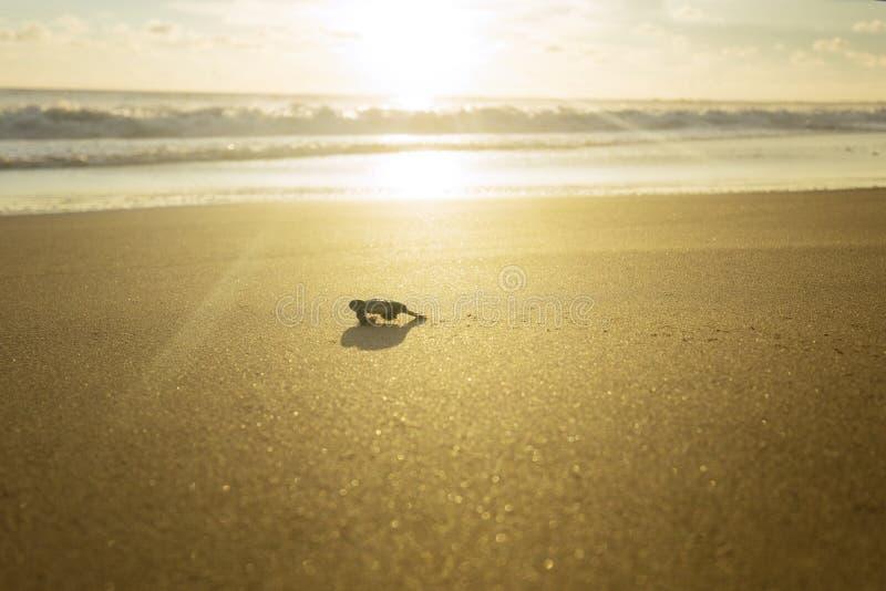 Behandla som ett barn sköldpaddan som går in mot havet royaltyfri bild