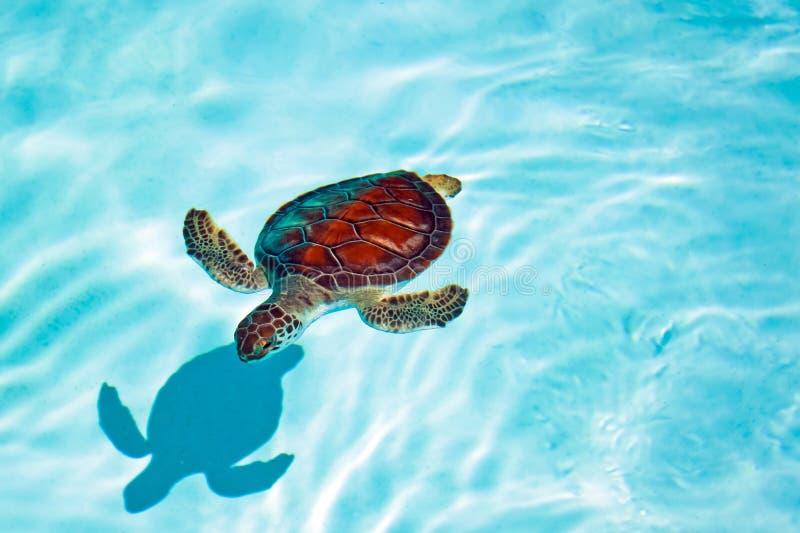 Behandla som ett barn sköldpaddan i vattnet arkivfoton