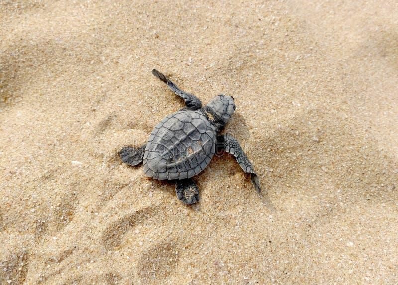 Behandla som ett barn sköldpaddan på stranden arkivbilder
