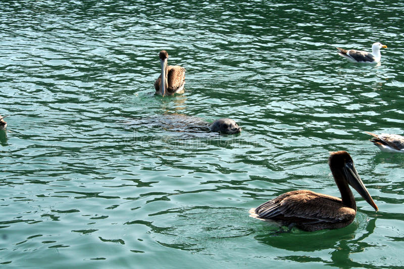 Behandla som ett barn skyddsremsan med pelikan arkivfoto