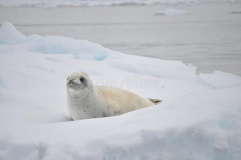 Behandla som ett barn skyddsremsan på ett isberg royaltyfri fotografi