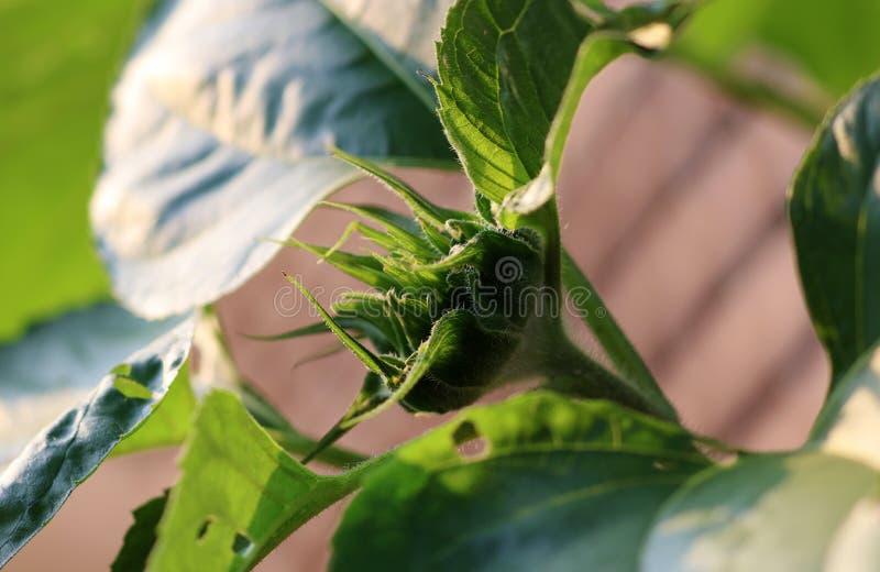 Behandla som ett barn solrosen som hemma växer i trädgård för solrosväxt arkivbild