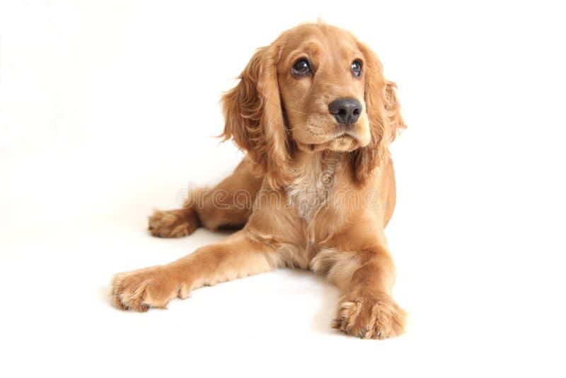behandla som ett barn spanielen för cockerspanielhundengelska fotografering för bildbyråer