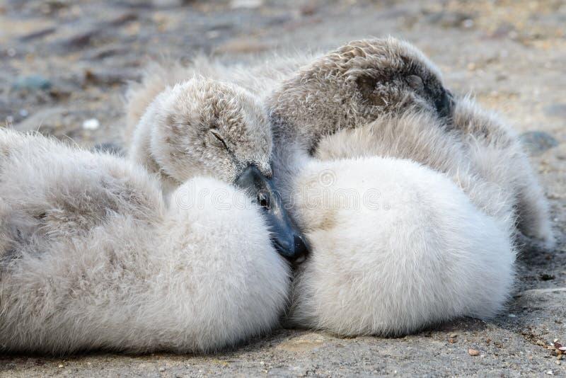 Behandla som ett barn svanen - closeupstående royaltyfria bilder