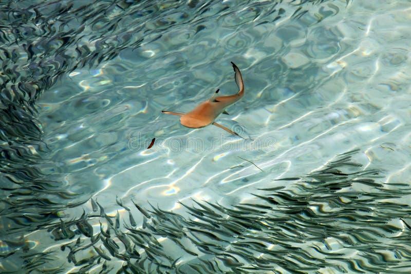 Behandla som ett barn svart spetshajsimning i Stilla havetfrikändvatten arkivbilder