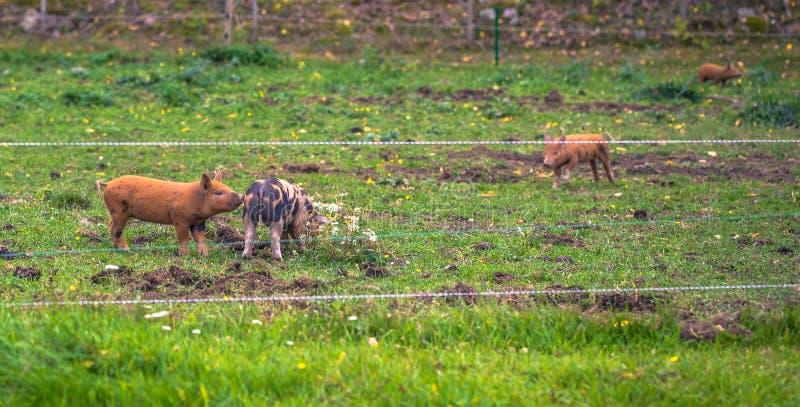 Behandla som ett barn svin på en lantgård i den svenska skärgården, Sverige arkivfoton