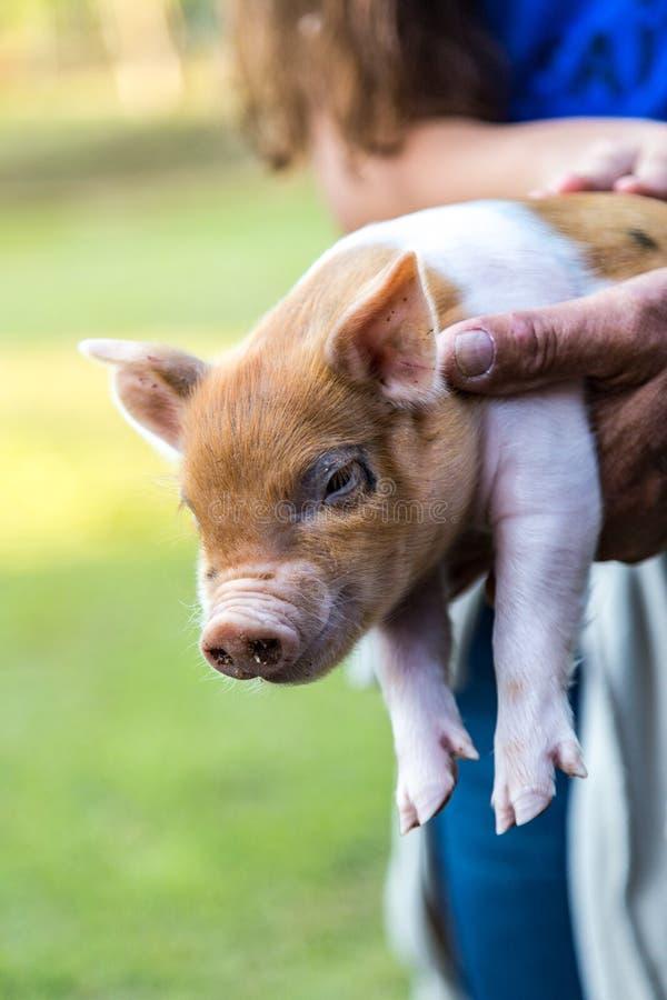 Behandla som ett barn svinet i lantgården royaltyfri foto