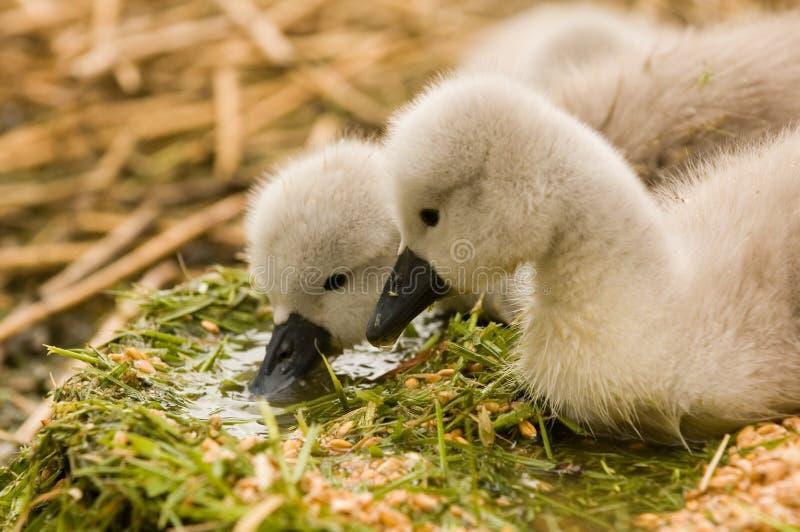 Behandla Som Ett Barn Swans-cygnets Arkivfoton