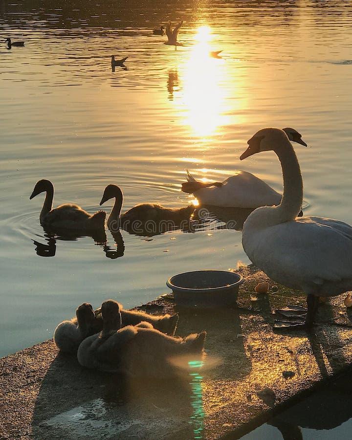 behandla som ett barn swans för swanen för familjkvinnlign male fotografering för bildbyråer