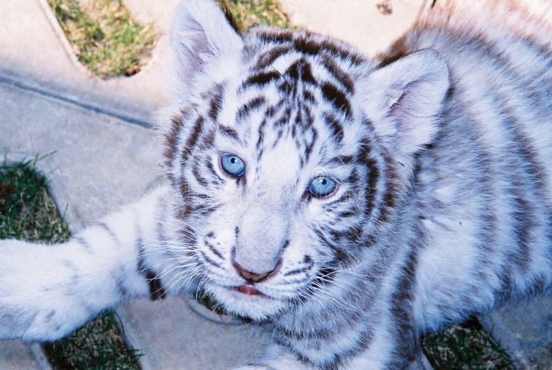 behandla som ett barn tigerwhite för blåa ögon arkivbild