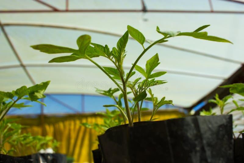 Behandla som ett barn tomatväxter fotografering för bildbyråer