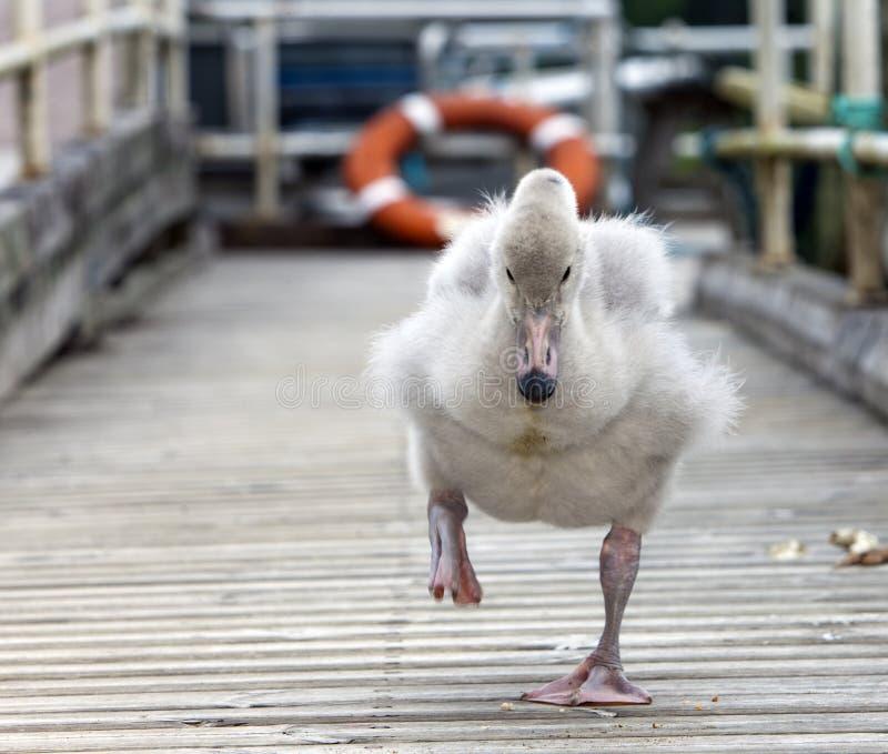 Behandla som ett barnfågeln av en svan på förtöja arkivbilder