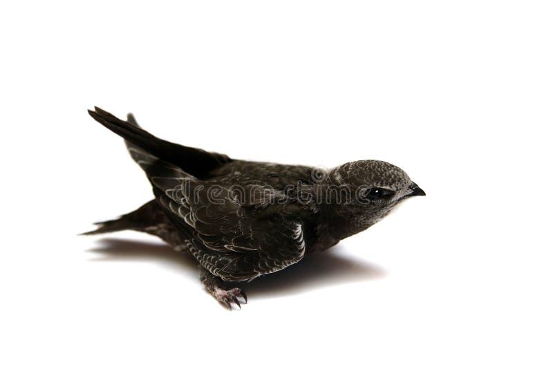 Behandla som ett barnfågeln av gemensamt snabbt arkivfoto