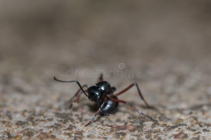 Behavior of ants.Single black ant in nature background. stock image