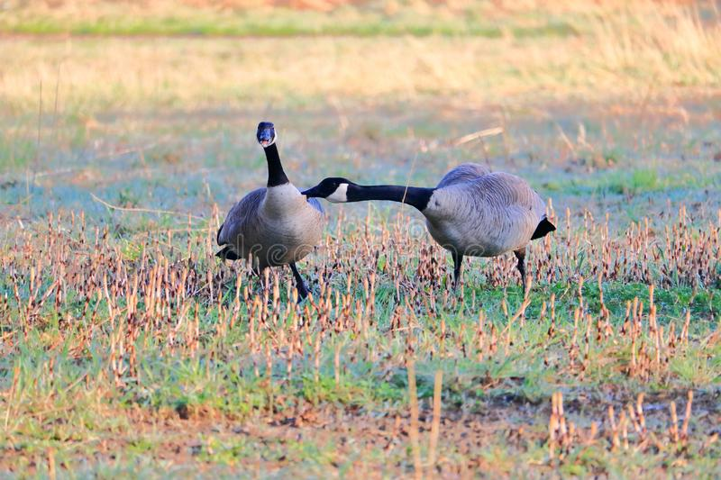 Male Canada Goose Bites Female During Mating. The behavior of Canada Geese during mating season as a male adult aggressively reaches out and bites a female to royalty free stock photography